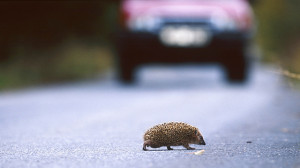 european hedgehog, erinaceus europaeus, crossing road, bohemia, europe